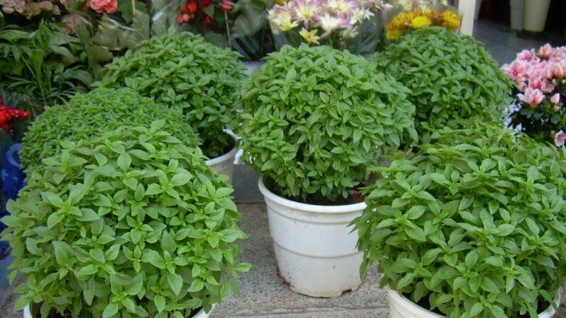 Basilikos-plant